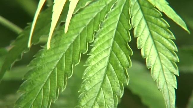 marijuana_577535