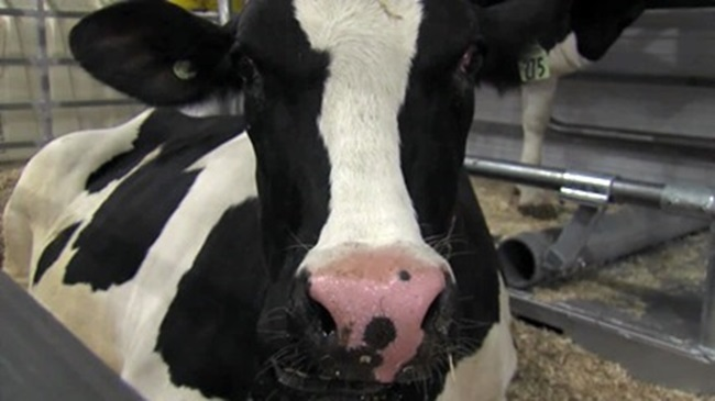 farming_cow_621016