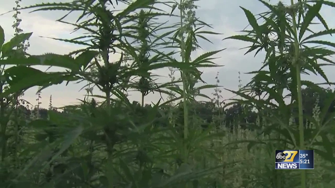 Farmers, state work to use industrial hemp to stimulate the economy