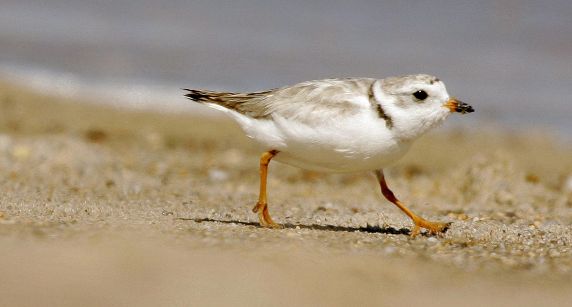 Beach Concerts Cancelled-Nesting Birds_1560471951602