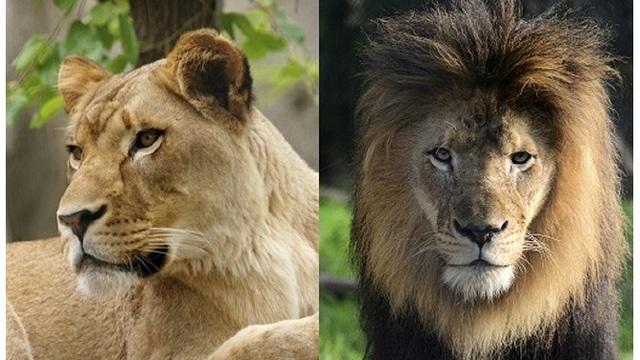 lions together_1539978720464.jpg_59534789_ver1.0_640_360_1539980715077.jpg.jpg