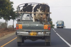 cow in pick up