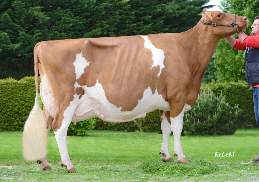 Suard JORDAN IRENE RED EX-96 (EX-97 Udder) 9 y. On June 3rd 2013, IRENE RED received the highest classification to date for a Red Holstein cow in Switzerland: EX-96 Format EX-95, Rump EX-95, Feet & Legs EX-96 and Udder EX-97
