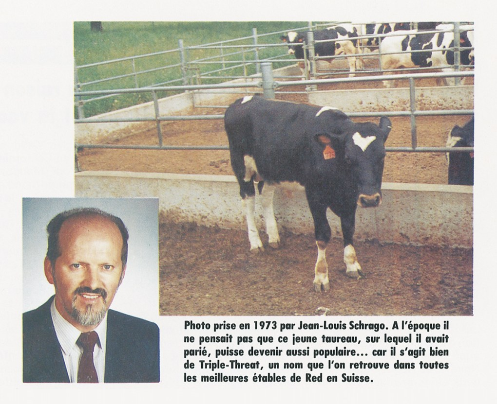 "Hannover-Hill Triple Treat Red was born ""red""! At 9 months old, Triple Threat became completely black-red !!  It was a big surprise at ABS who spent more than 60'000 $ to buy a ""red"" bull.  At this time nobody in the USA knew about  this new gene Black-red (BR) called ""Mahogany"".  Only the top of the back stays  ""red"". In 1973,  most of the North American breeders were considering that the red color was a genetic defect in the Holstein breed.  Thus most of the red calves were slaughtered immediately after birth.  It was the case at the Roybrook farm when their famous white cow Roybrook Model Lass EX (mother of the bull Telstar who was sold to Japan because of his red Factor) produced a red calf.  Mr Roy Ormiston owner of Roybrook farm eliminated any red calf  from the cow Model Lass.  For this reason, nobody knew about the Black-red gene of Telstar before his son Triple Threat Red was 9 months old and turned black-red (BR). Larry Moore in Suamico, Wisconsin was the first breeder who began to breed the RED Holstein calves ""unofficially"".  That is why most of the Red Holstein breeders worldwide consider today Larry Moore as the ""Father"" of the new Red Holstein breed born during the 20th century!"