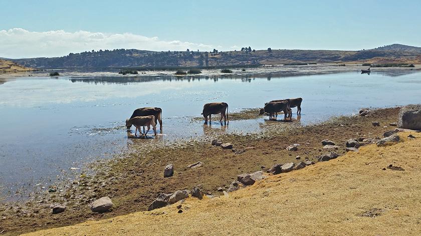 2015: Some Brown Swiss cows eating algae in Lake Titicaca Peru at 4'200 m