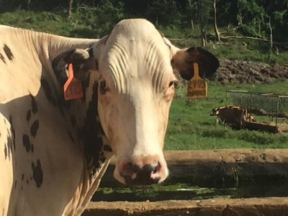 In the slick cows the hair coat is short and glossy which makes wrinkles and veins appear