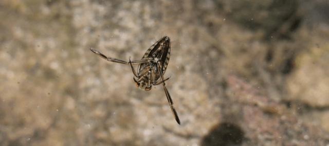 Backswimmer bugs
