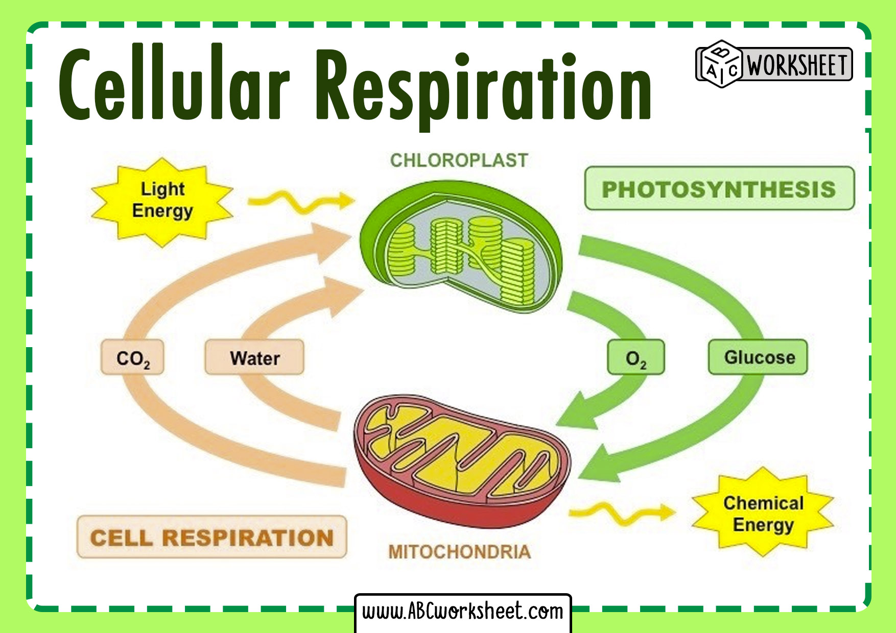 Cell Respiration Process