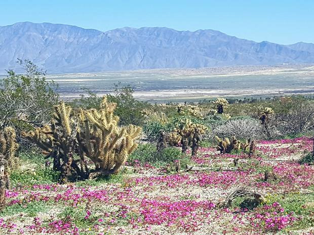 Anza Borrego Desert Wildflowers Update Desert Floor covered with Monkey Flowers bu Amy Brewster