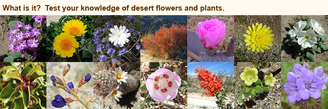 Flowers and Plants of the Anza Borrego Desert Desert Wildflowers  Why they appear when they do