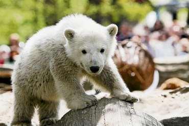 Knut wird Botschafter