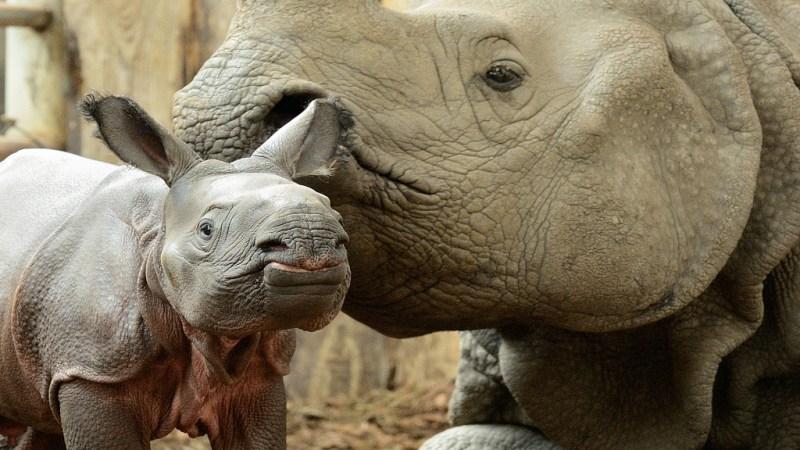 Nashorn-Nachwuchs im Tierpark