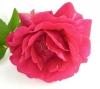 bunga-mawar-rumah-tangga-harmonis
