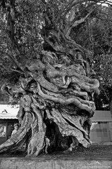 1000-jähriger Olivenbaum auf dem Plaza de Cort