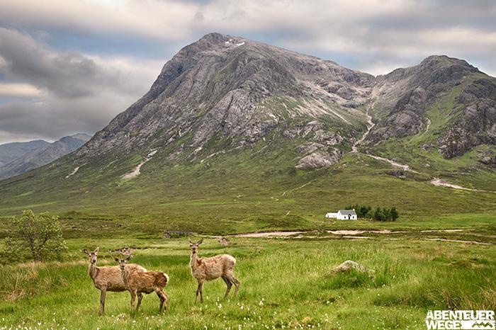 Rothirschkühe bei Glencoe in den Highlands mit schottischem Cottage im Hintergrund.