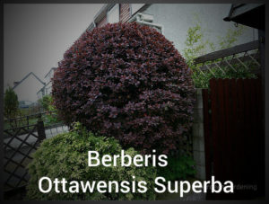 Berberis Ottawensis Superba garden security