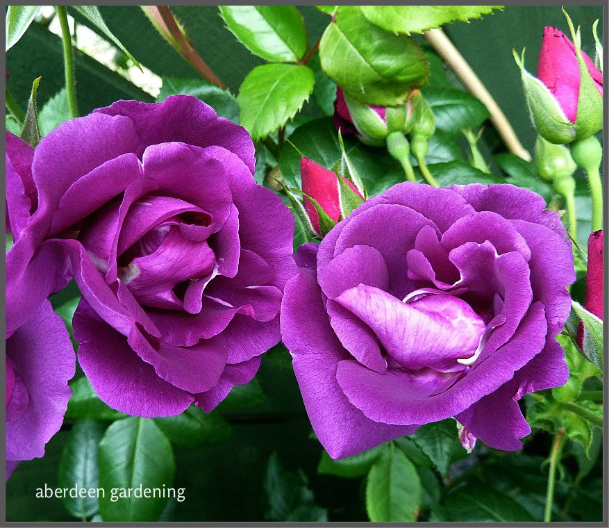 rose rhapsody in blue growing well in scotland profile. Black Bedroom Furniture Sets. Home Design Ideas