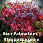 Acer-Palmatum-Atropurpureum[1]