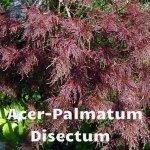 Acer-Palmatum-Disectum1[1]