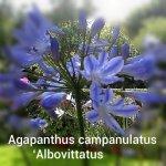 Agapanthus 001