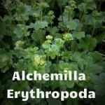 Alchemilla Erythropoda 03