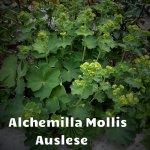 Alchemilla Mollis Auslese 02