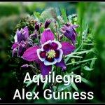 Aquilegia Alex Guiness