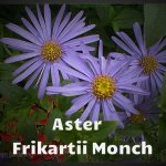Aster Frikartii Monch 01 - Copy