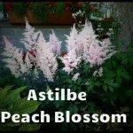 Astilbe peach blossom - Copy