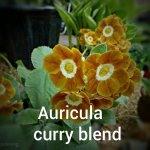 Auricula Curry blend (4)