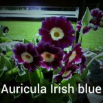 Auricula Old Irish Blue 2 - Copy