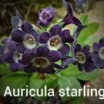 Auricula starling (2)