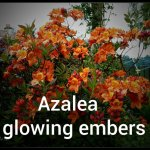Azalea Glowing Embers - Copy