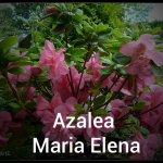 Azalea Maria Elena - Copy