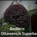 Berberis Ottawensis Superba