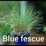 Blue Fescue (2)