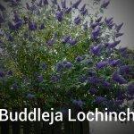 Buddleja Lochinch (2)