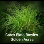 Carex Elata Bowles Golden Aurea