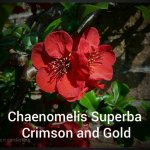 Chaenomelis x Superba Crimson and Gold