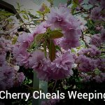 Cherry Cheals Weeping