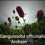 sanguisorba-officinalis-arnhem-