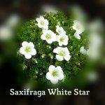 Saxifraga White Star