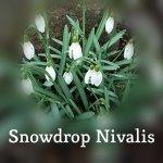 Snowdrop Nivalis