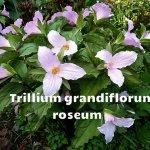 Roseum