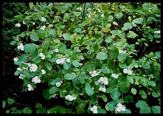 Symphoricarpos albus snowberry (3)