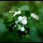 Symphoricarpos albus snowberry (4)