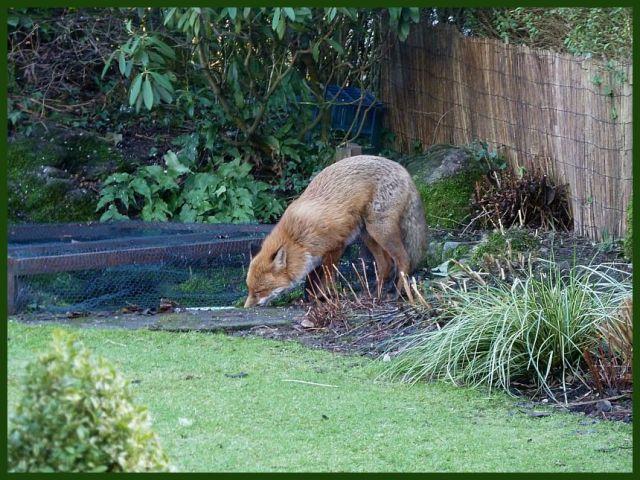Fox injured (2)