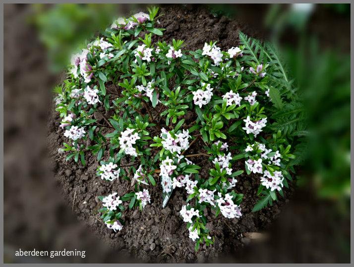 Daphne x Atlantica Eternal Fragrance (2)