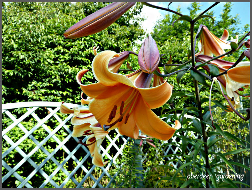 Trumpet Lily African Queen