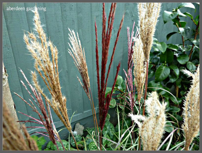 Miscanthus sinensis red chief (5)